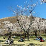 大室山の桜2018!さくらの里の見頃は?半年以上咲く桜って?ちょっと面白い!?
