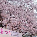 稲荷山公園 桜祭り2018!見頃は?ライトアップは?駐車場と混雑状況も!