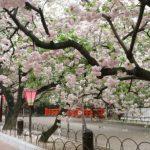 造幣局 桜の通り抜け 2018の見頃は?アクセス情報と夜桜のライトアップ時間も!