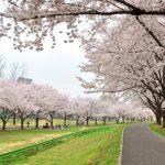 川越水上公園の桜2018!見頃はいつ?駐車場は?子連れには嬉しいお花見場所!
