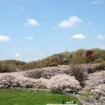 こどもの国 桜2018!開花状況は?混雑状況とお花見を楽しむ注意点も!