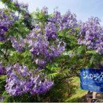 ジャカランダ祭り2018!旅行口コミサイト1位を獲得した『道の駅なんごう』で開催される美しイベント!