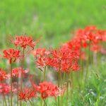 彼岸花が田んぼに咲いている意味深い理由!花言葉が怖いって本当!?